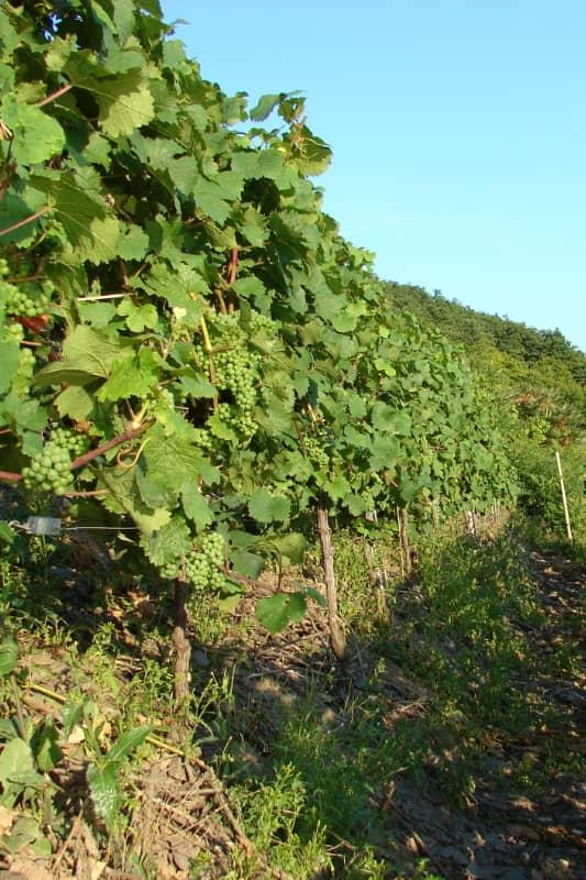 Moseltal Classic - Weinbau in Cochem an der Mosel